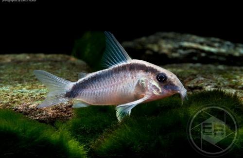 Corydoras_arcuatus_WF_Peru_4-5cm