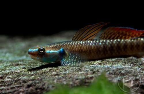 Stiphodon_ornatus_45-6cm